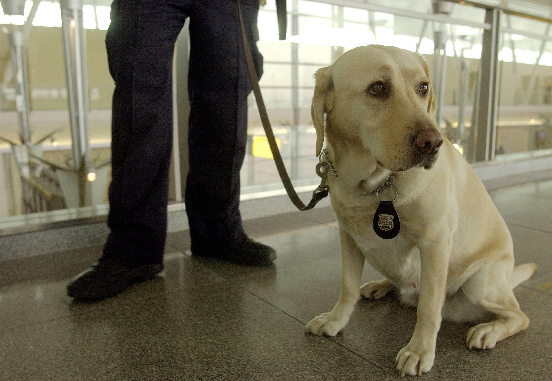 TSA Dog Labrador