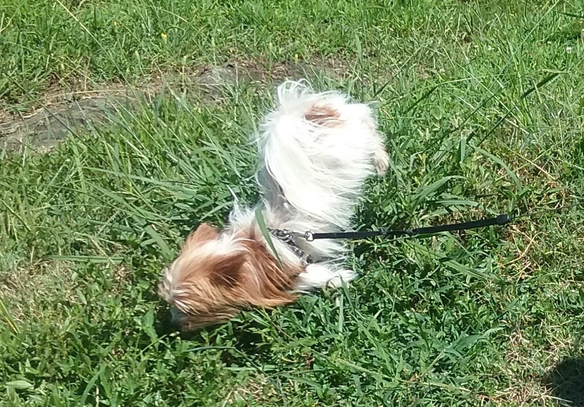 Dog Handstand peeing