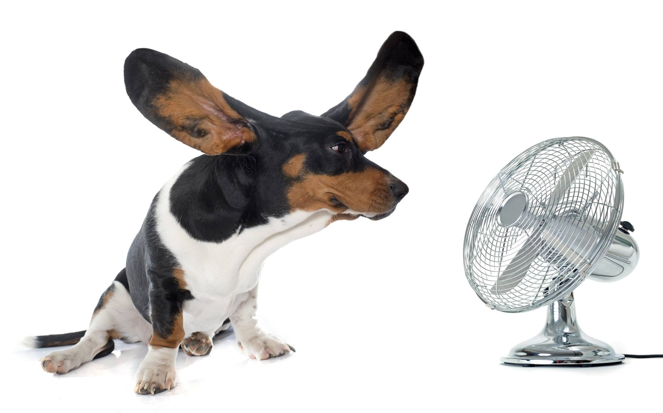 basset hound and fan