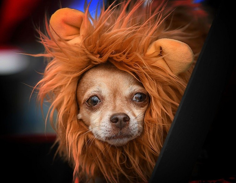 Dog dressed in Halloween costume