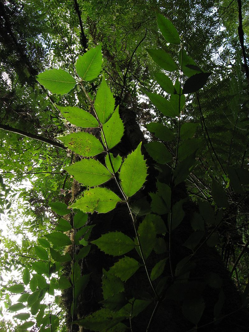 Sassafras leaves