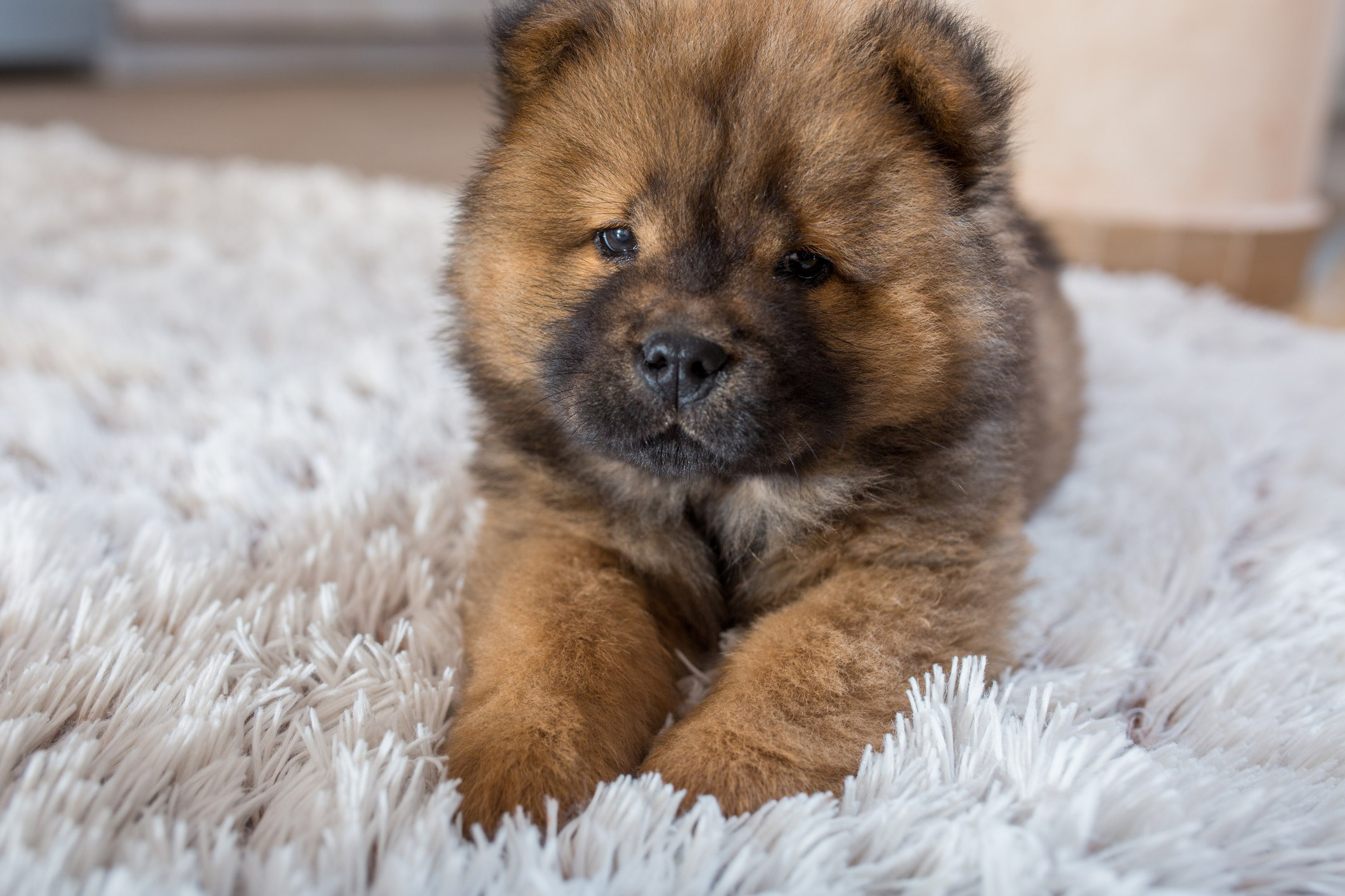 Dog Breeds That Look Like Chows