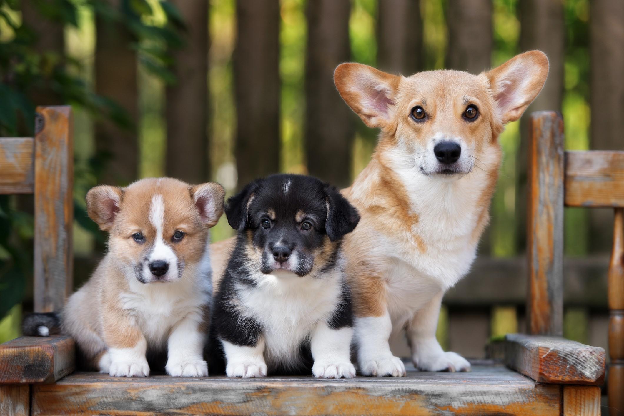 Corgi and puppies