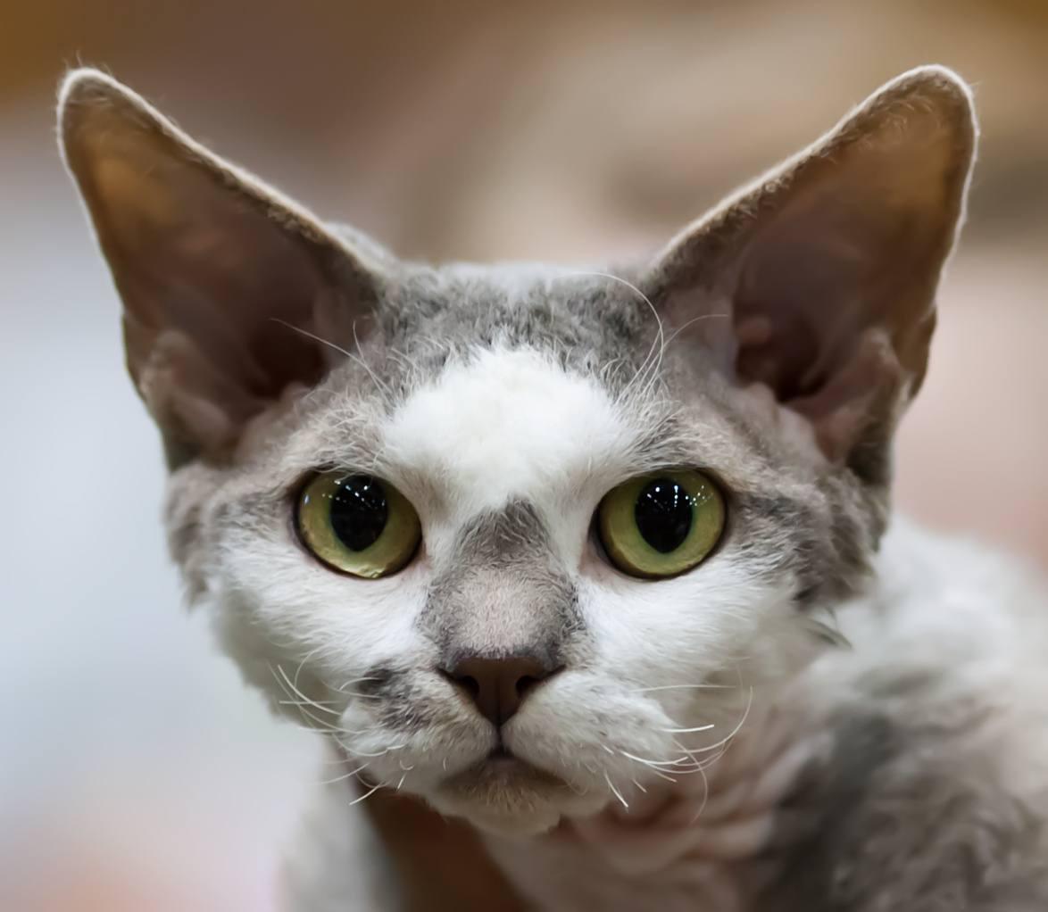 Devon Rex cat breed