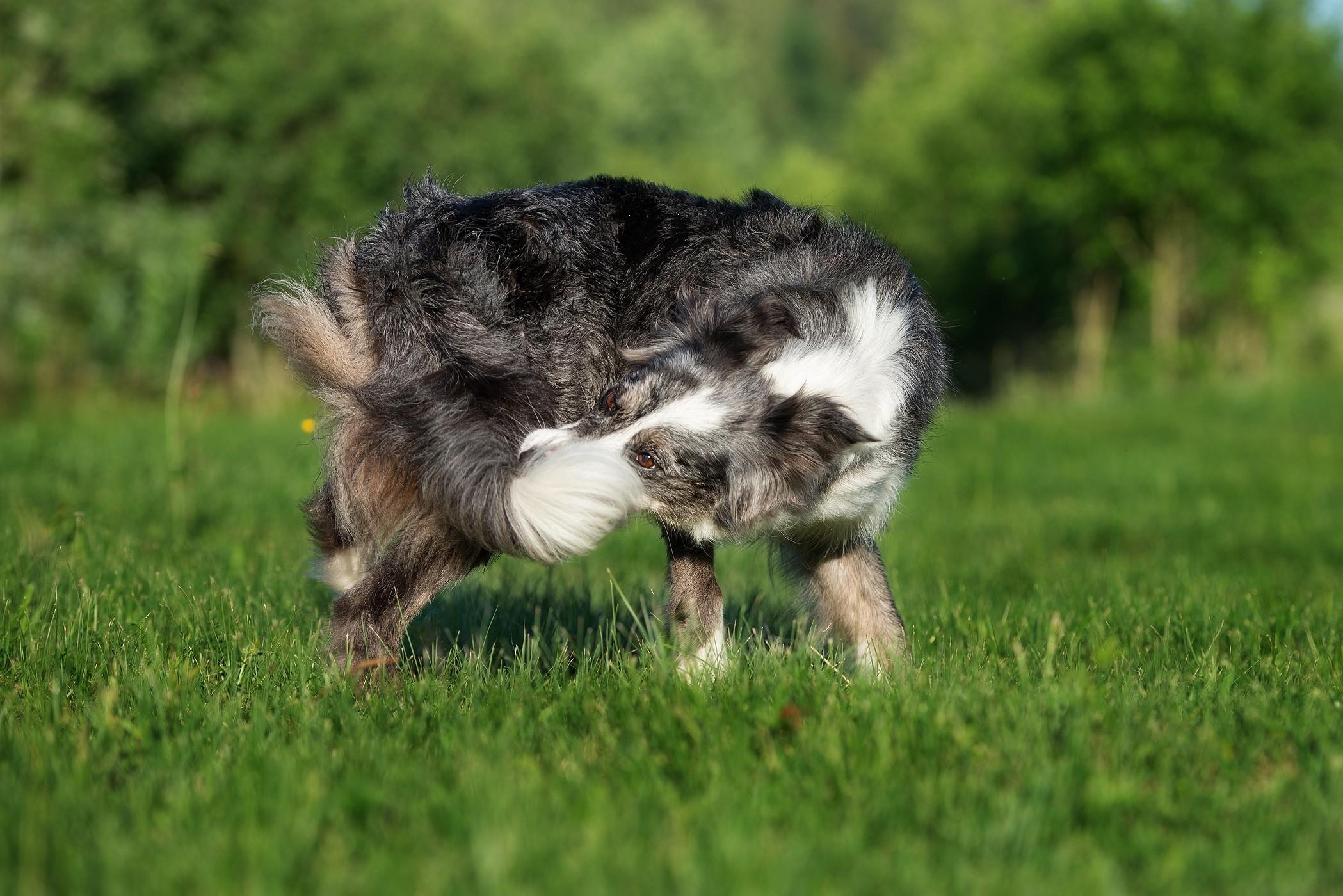 dog chasing his tail