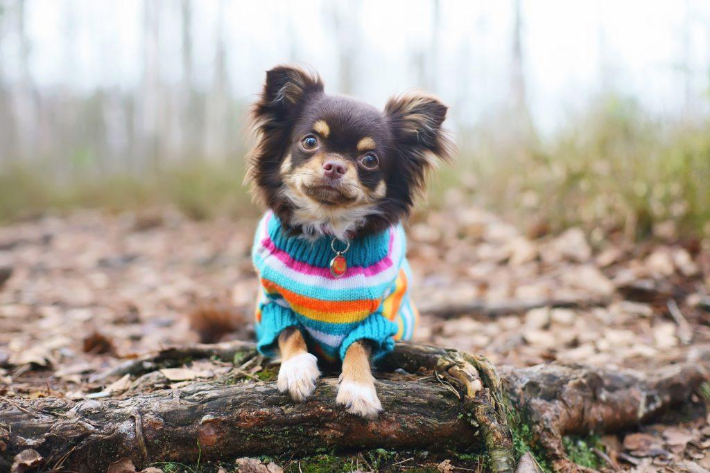 Young Chihuahua dog in a knitted sweater lying down on a tree roots at springtim