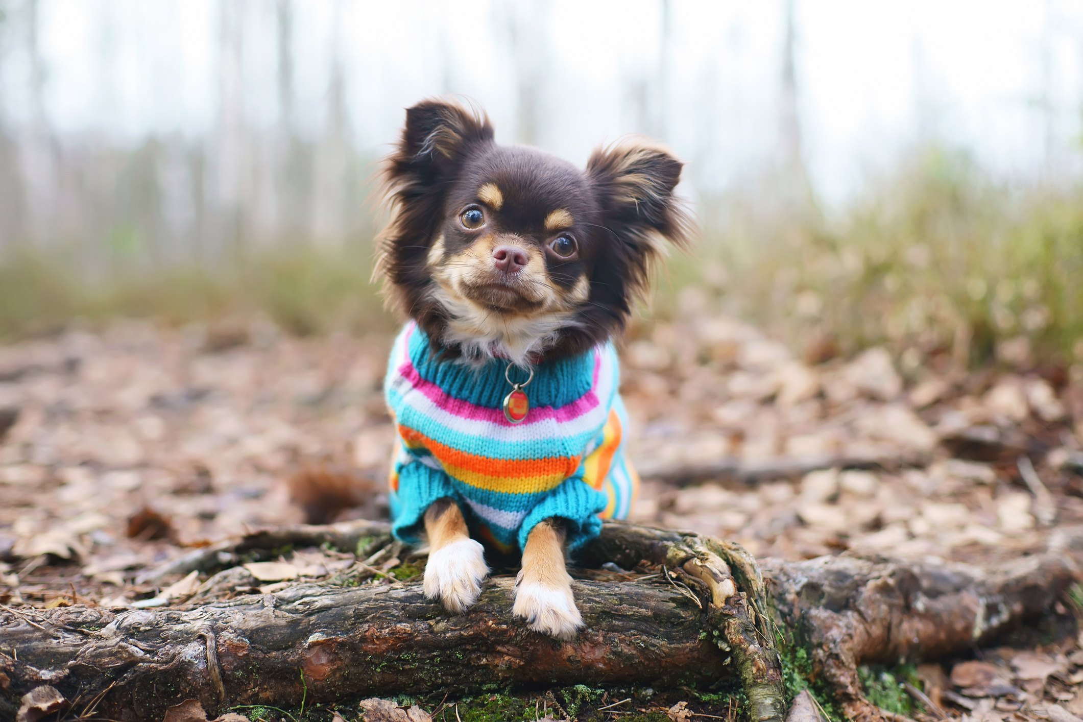 Dog in sweater