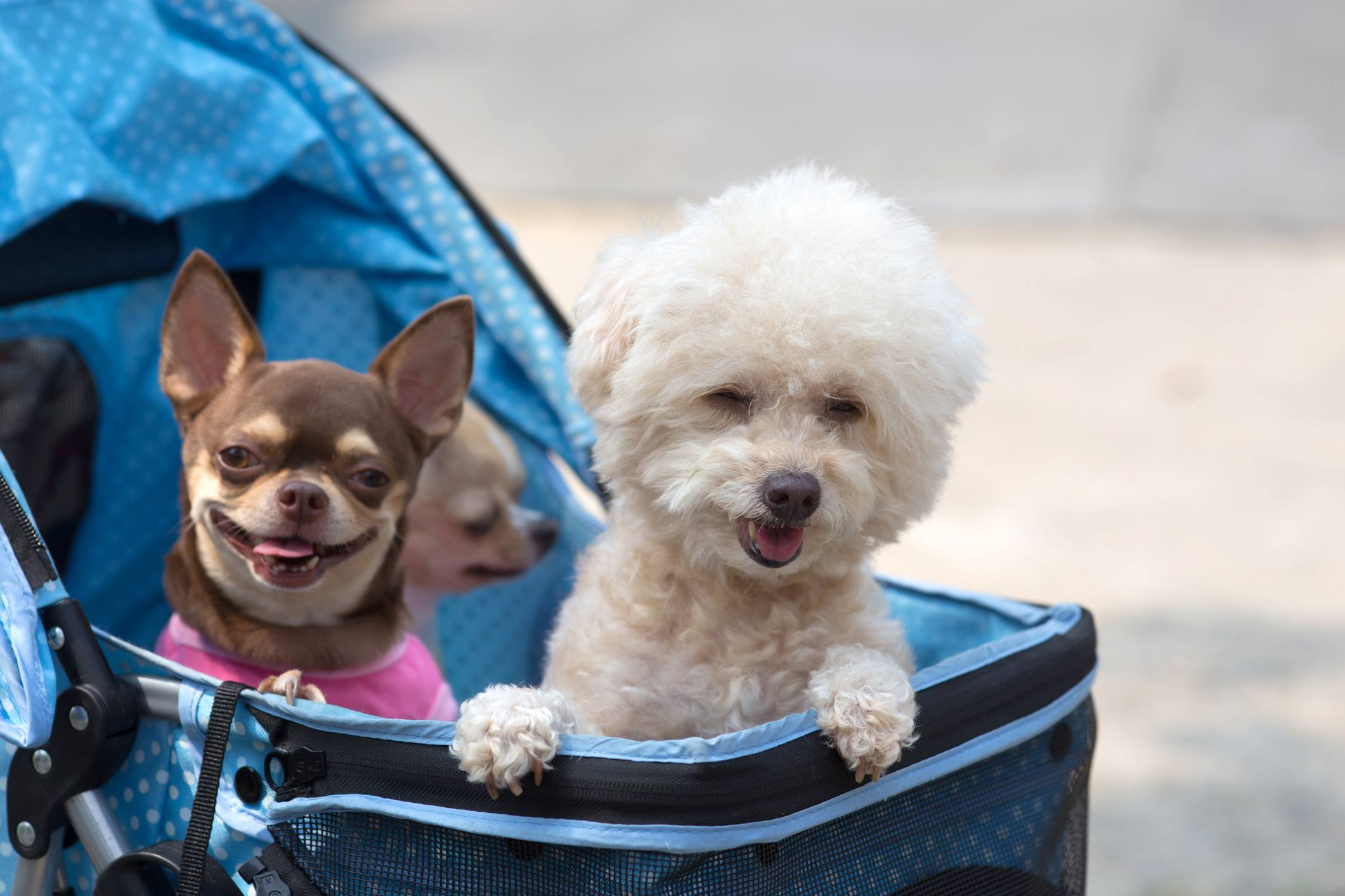 Dogs in strollers
