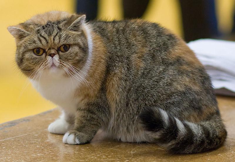 Exotic shorthair cat breed