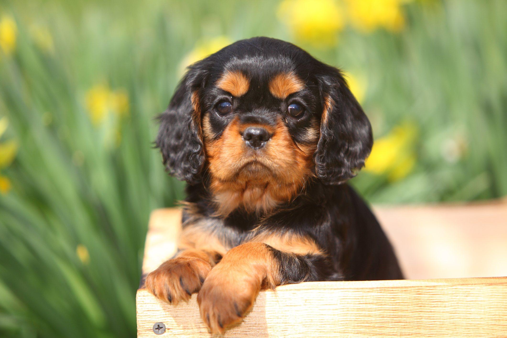 King Charles spaniel puppy