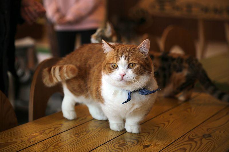 Munchkin Cat Breed