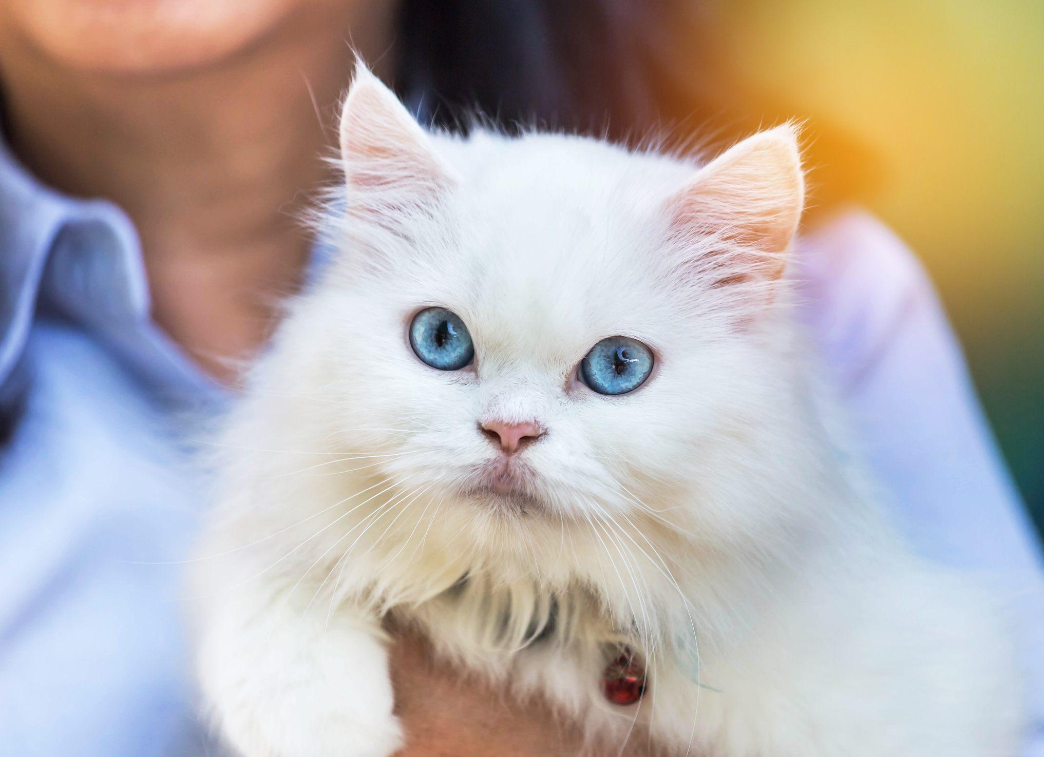White Persian Cat