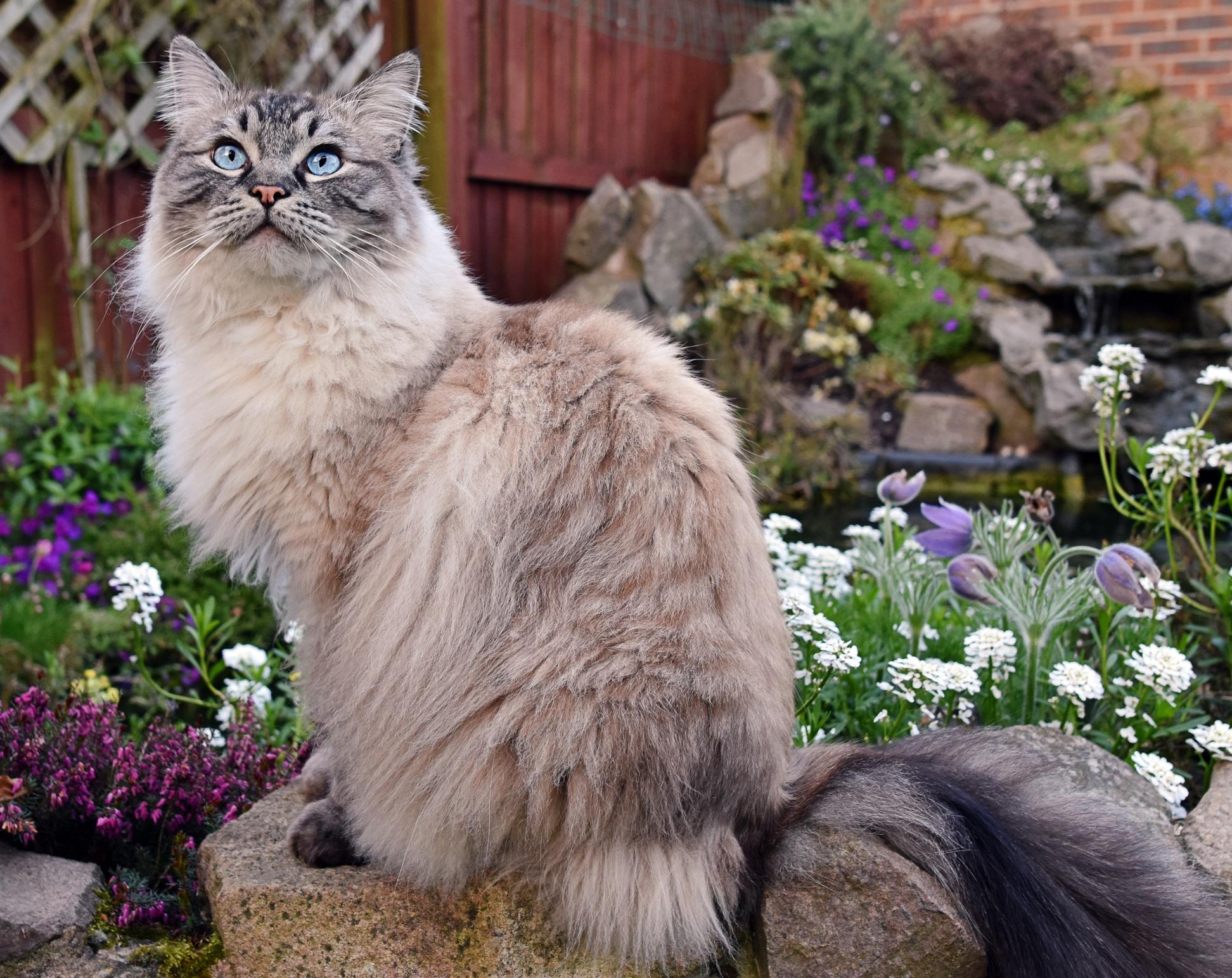 ragdoll cat breed