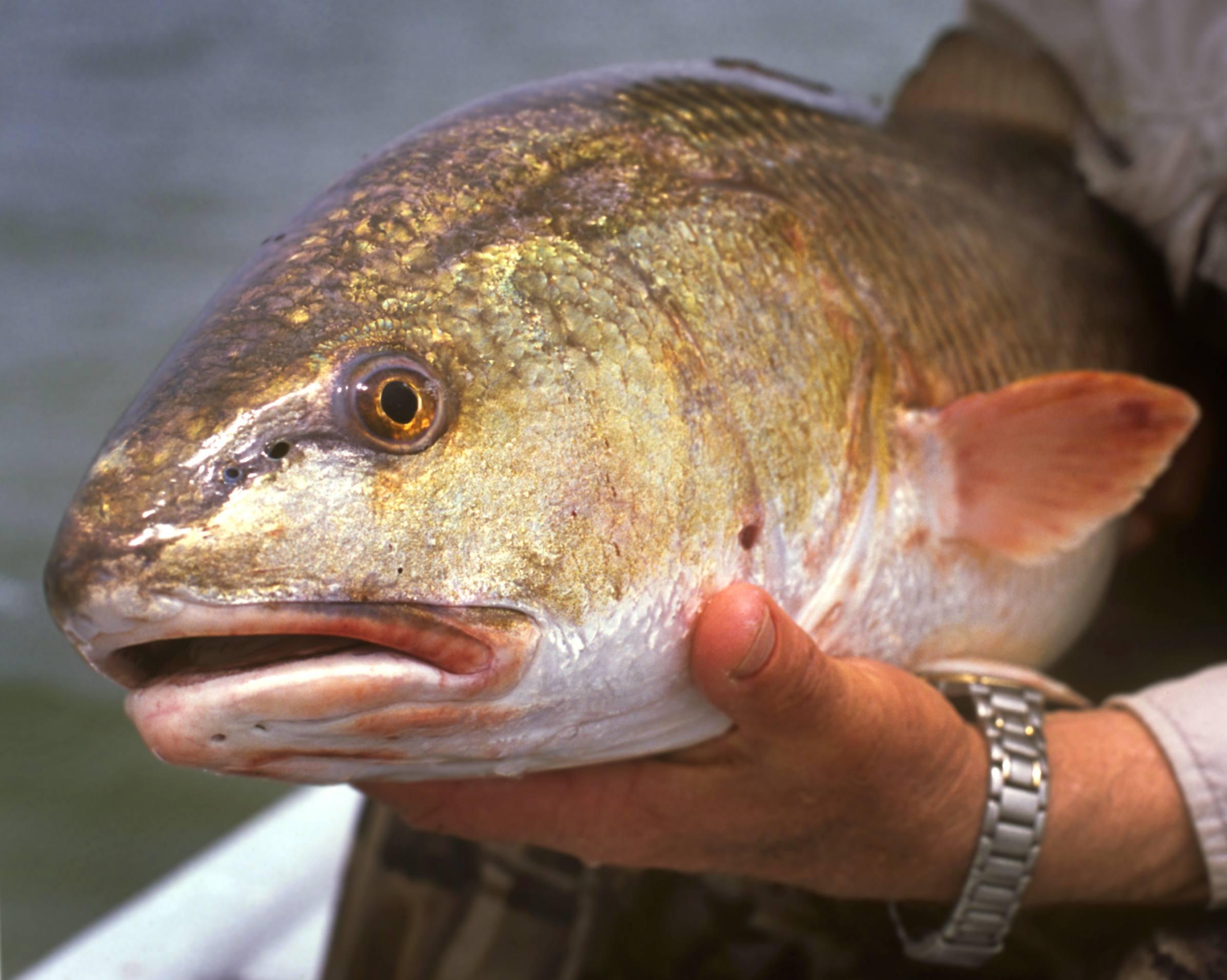Redfish caught on Texas Gulf Coast