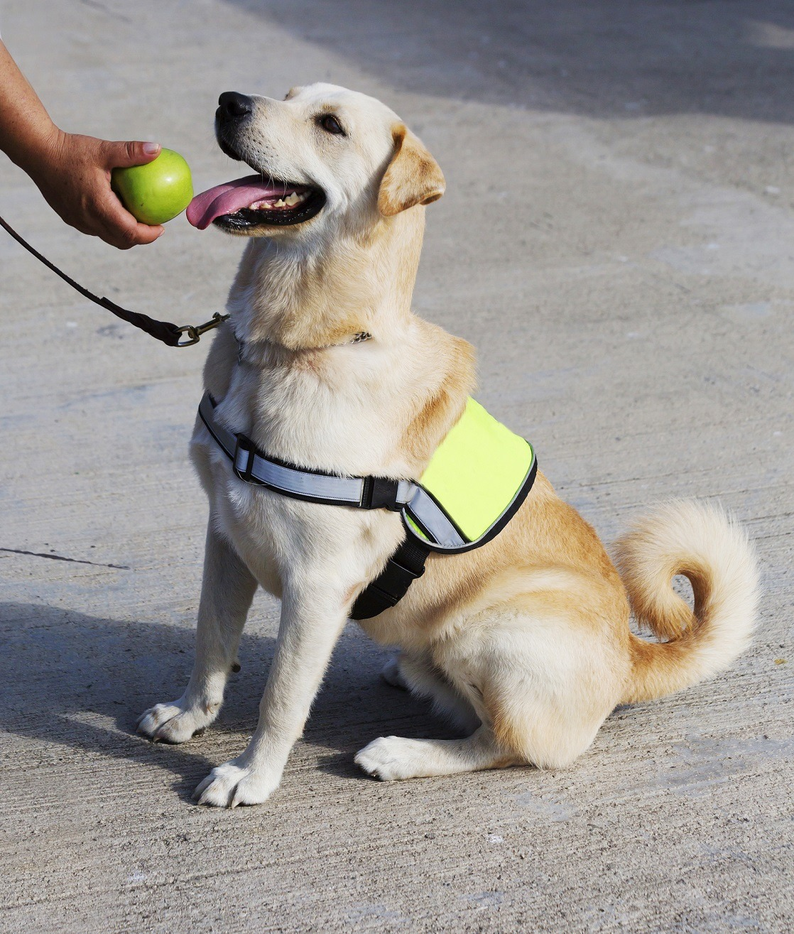 Service Dog Sitting with ball