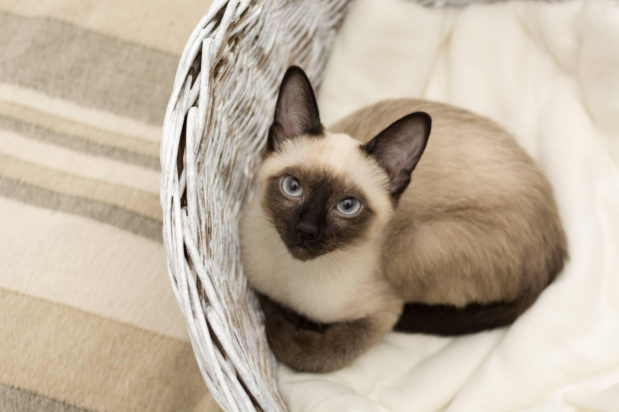 Siamese Cat in basket