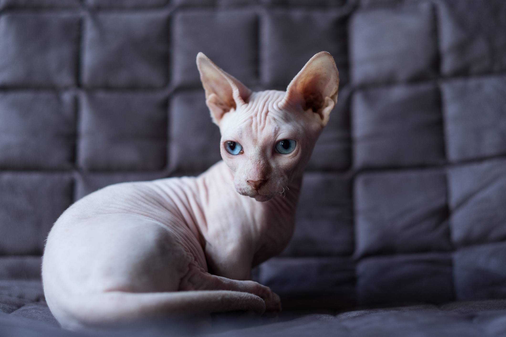 These Are The Best Hypoallergenic Cat Breeds For People