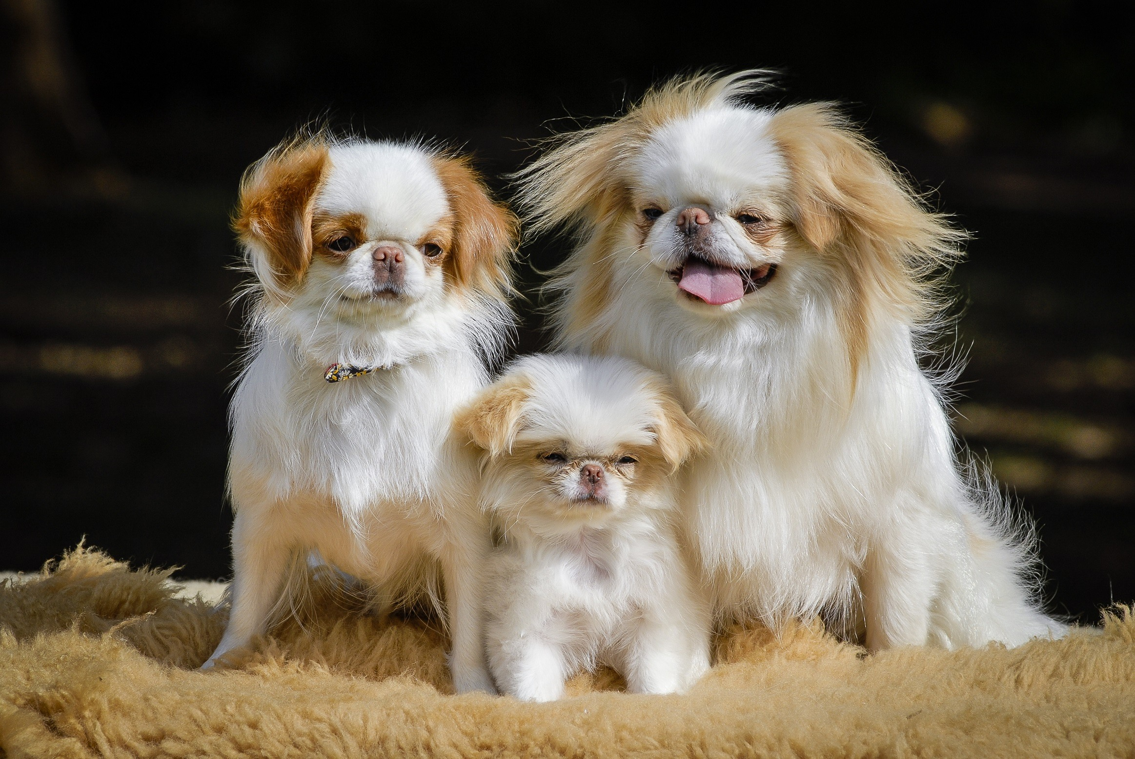 Family of Japanese chin