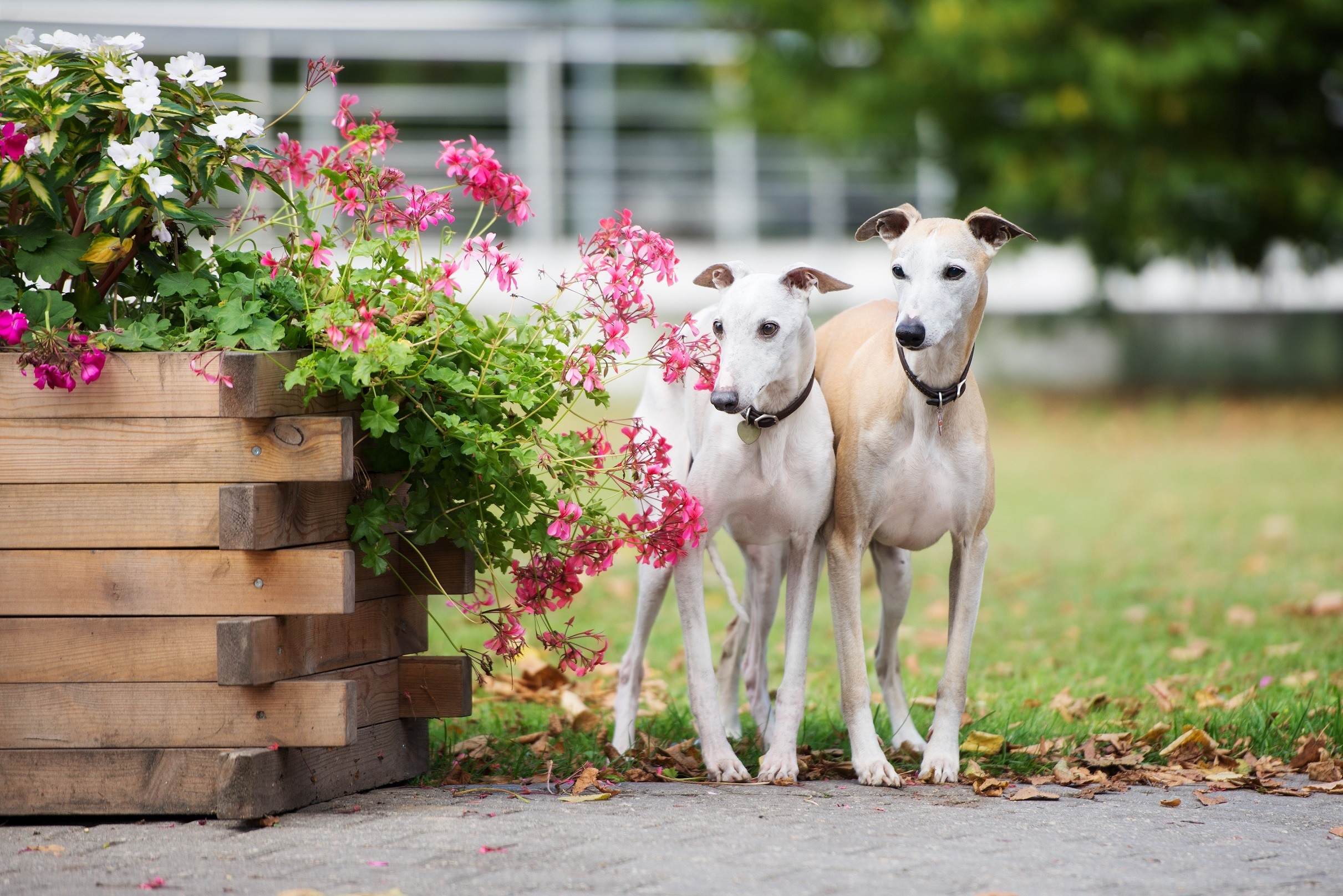Two whippet dogs in a garden