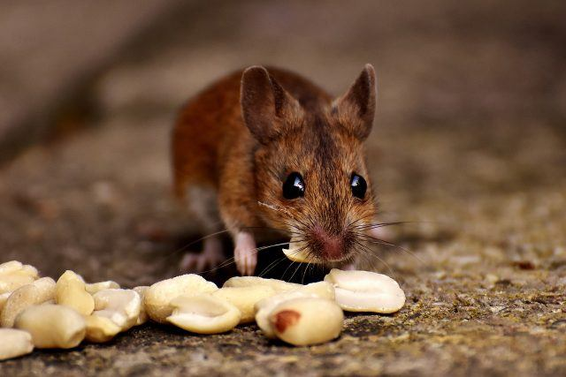 Mouse eating food.