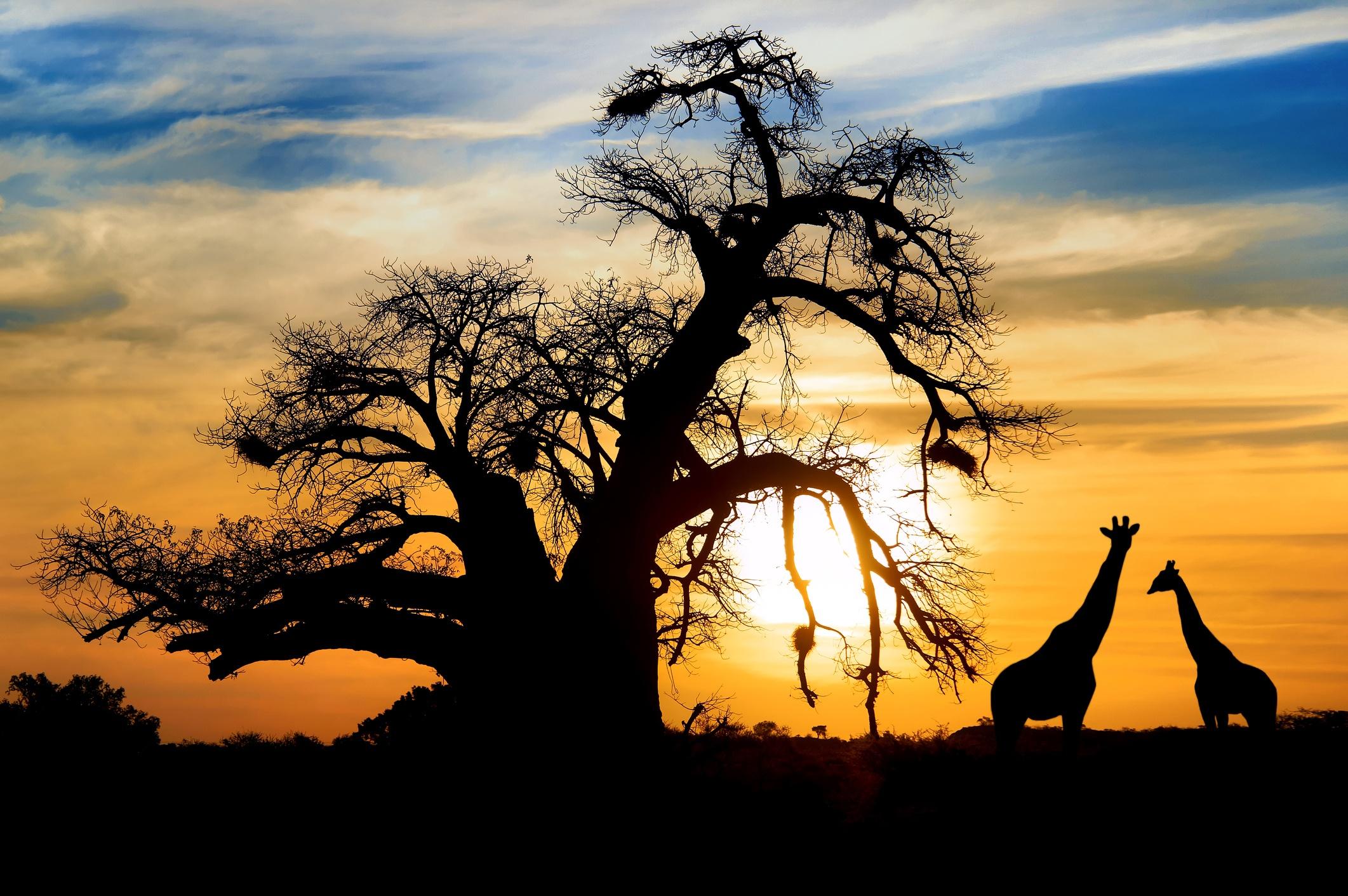BotswGiraffes in the Botswana sunsetana sunset