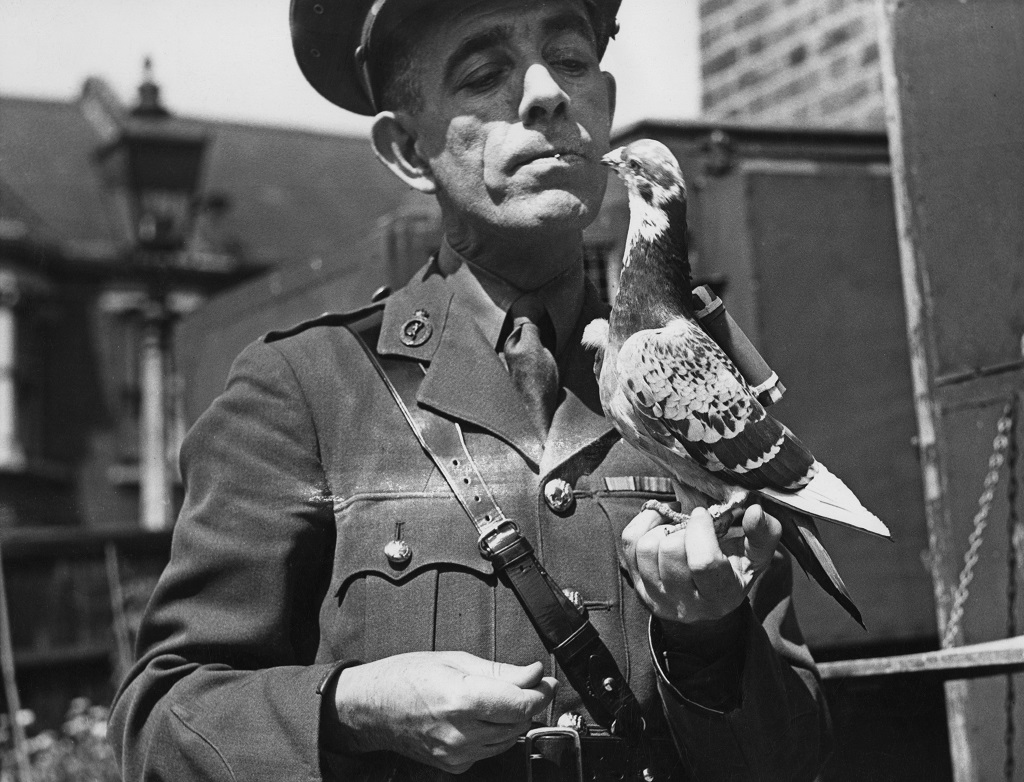 A military captain holds a carrier pigeon equipped with a 'back carrier' message capsule in 1945.