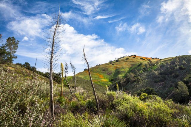 Chaparral tree plant seen among mountains.