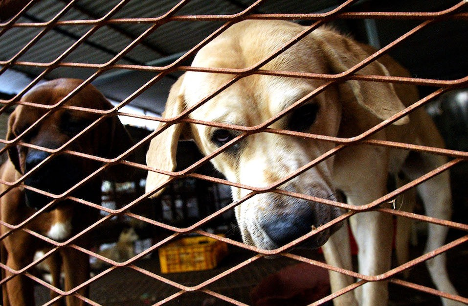 A dog looks out from a cage onto a dog slaughterhouse
