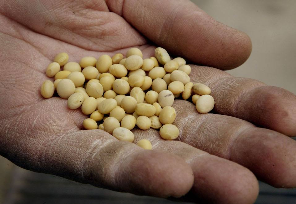 Jeff Peters displays a handful of non-GMO (genetically modified organism) clear Hilum soybeans