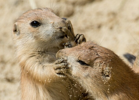 a pair of prairie dogs playing