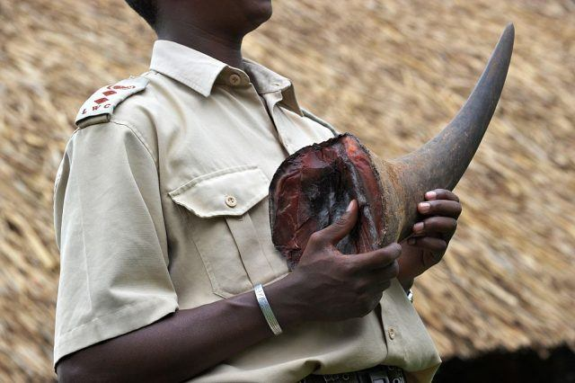 A man holds the tusk of a Rhino in his hands