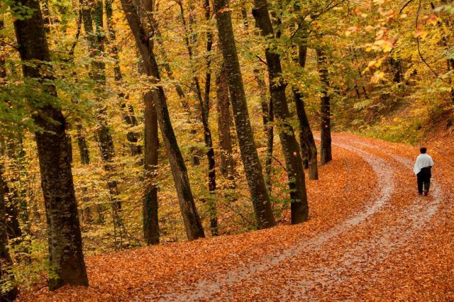 A woman walks on a road in a park, covered of fallen yellow leaves