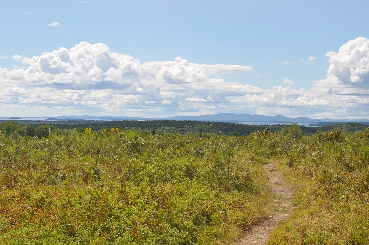 Field of blueberries in Maine