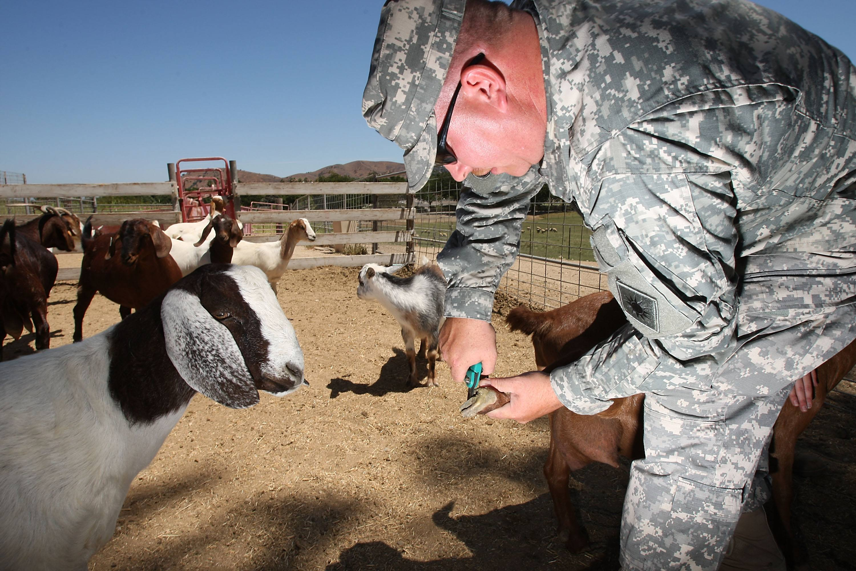 A goat watches Staff Sgt. Terry Lucas trim the hooves of another goat.
