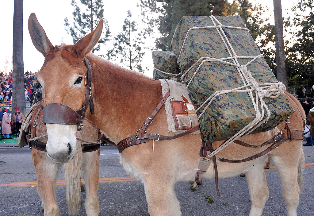 A U.S. Marine pack mule participates in the Tournament of Roses parade.