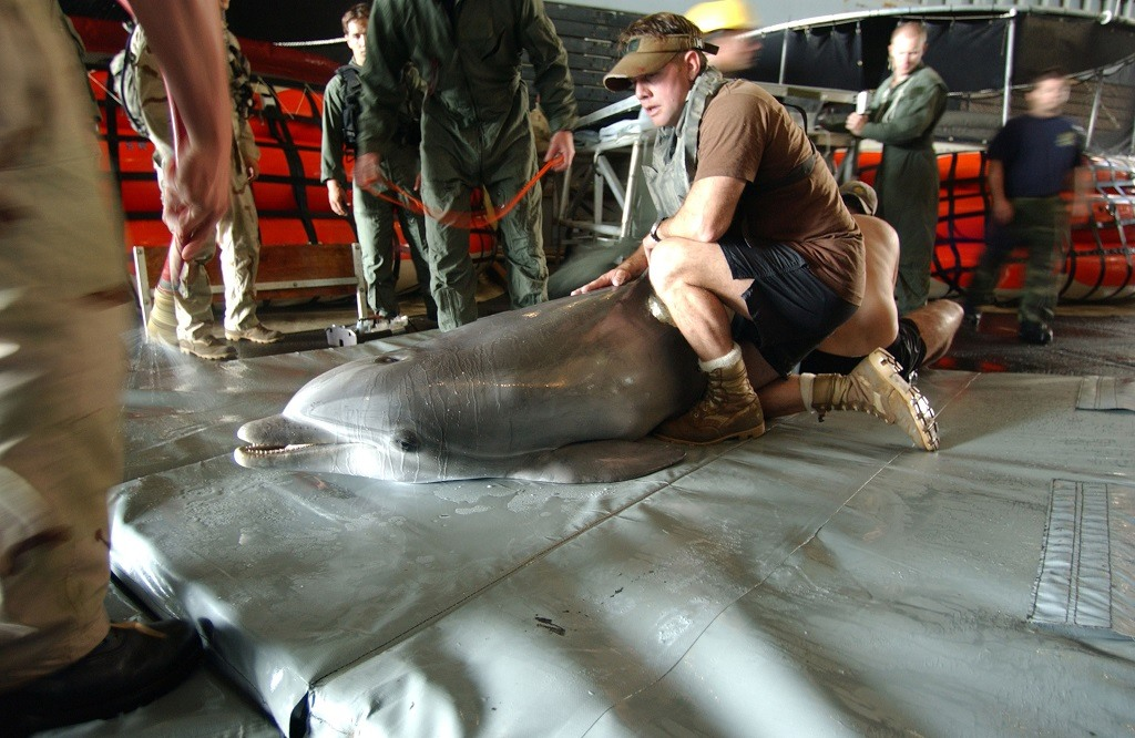 Hefi, a bottlenose dolphin, receives a routine evaluation aboard the USS Gunston Hall, which conducts water mine counter measure operations