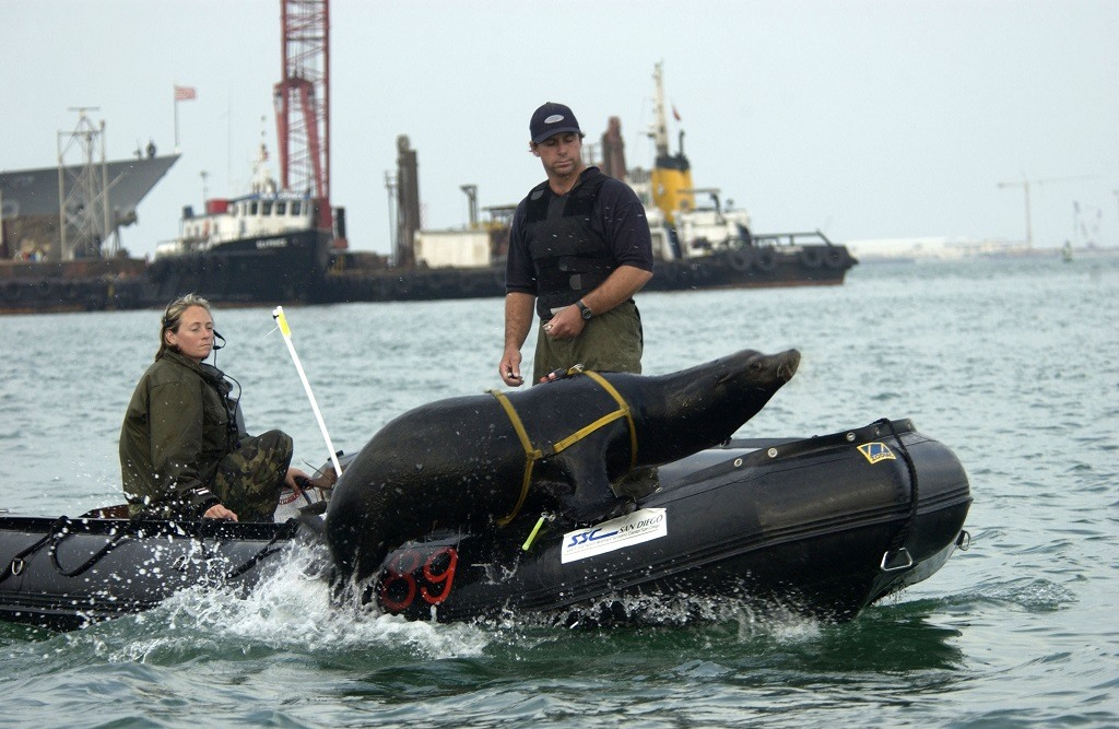 Zak, a 375-pound California sea lion completes the U.S. Navy's Shallow Water Intruder Detection System training off the Persian Gulf.