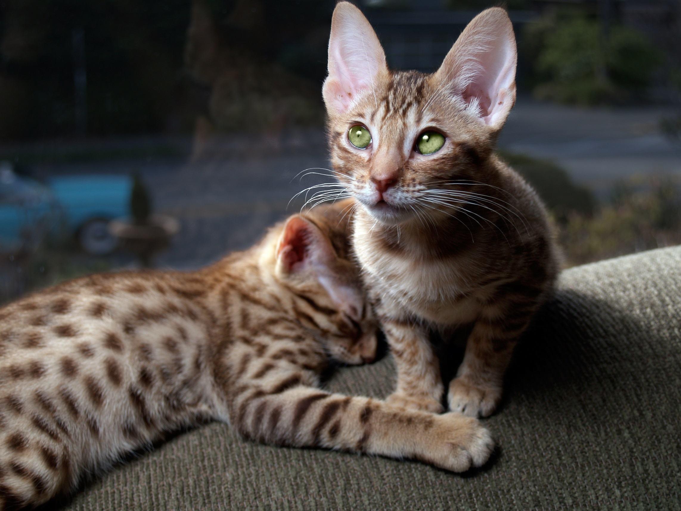 Two Ocicat Kittens