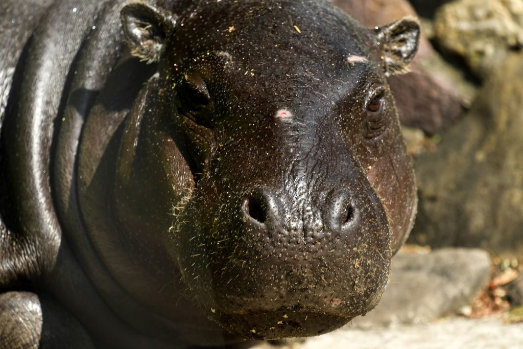 Baby pygmy hippo