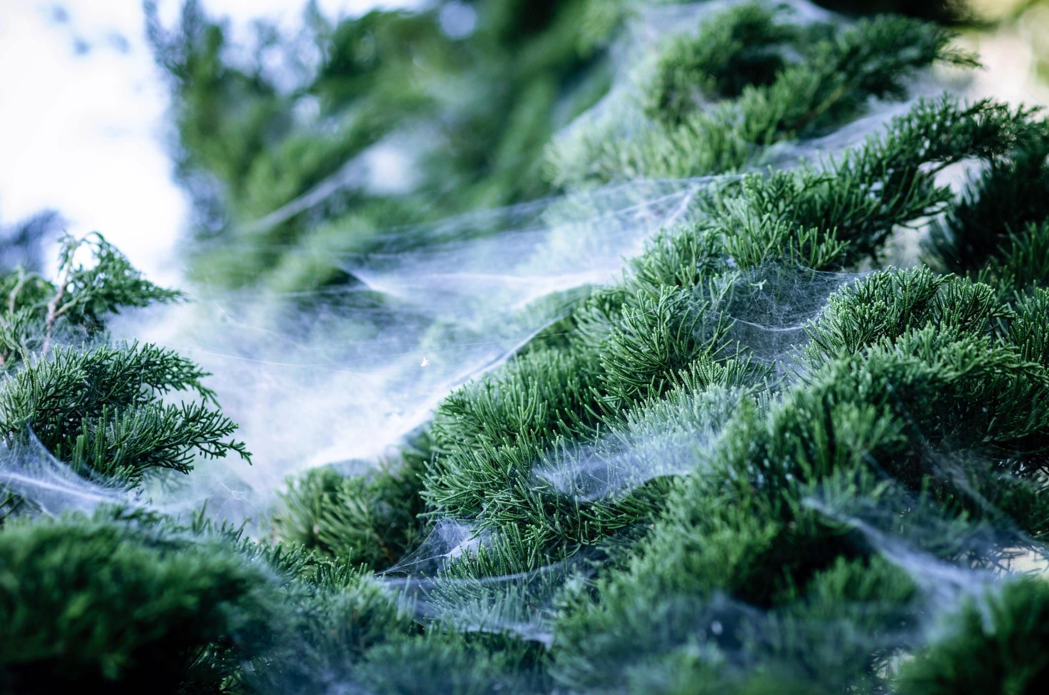 Cobweb on pine tree
