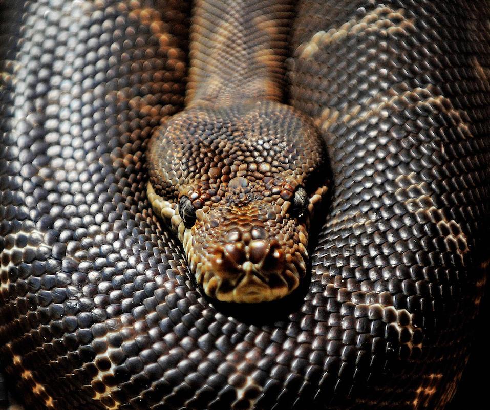 A Centralian carpet python lies coiled at Sydney Wildlife World