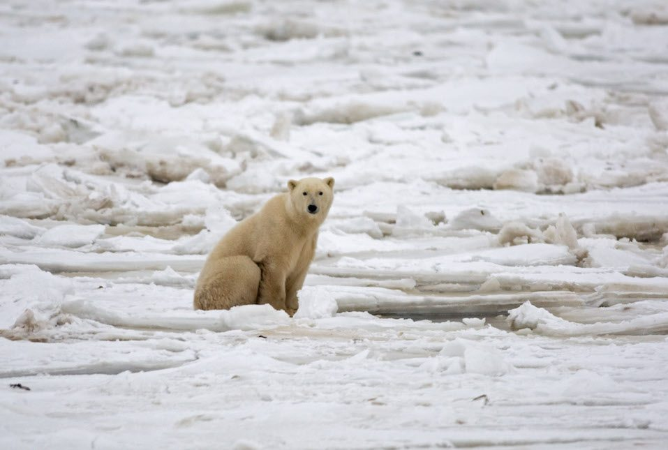 A polar bear sits on the Hudson Bay fresh ice next to a hole in the ice