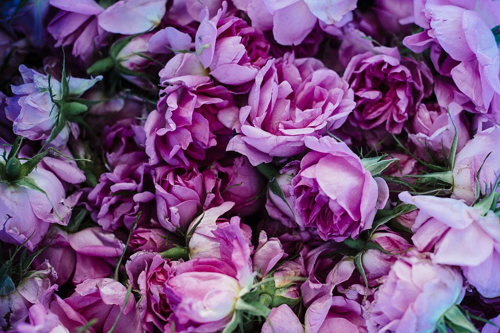Damask rose oil, an indispensable ingredient in high-end perfume production