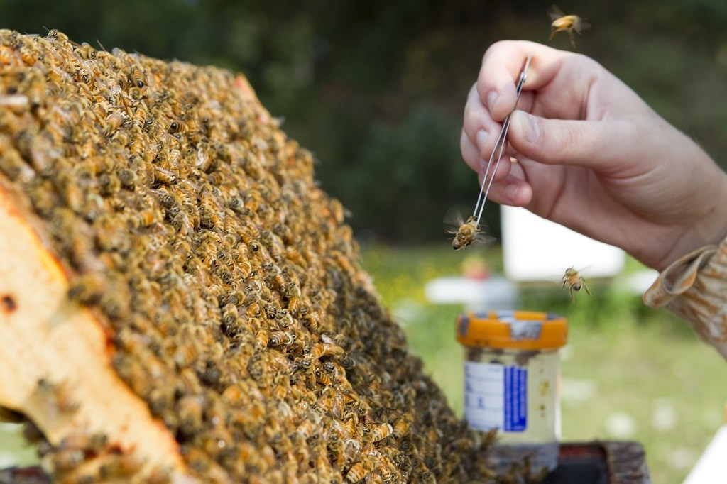 A researcher collects a bee from a hive
