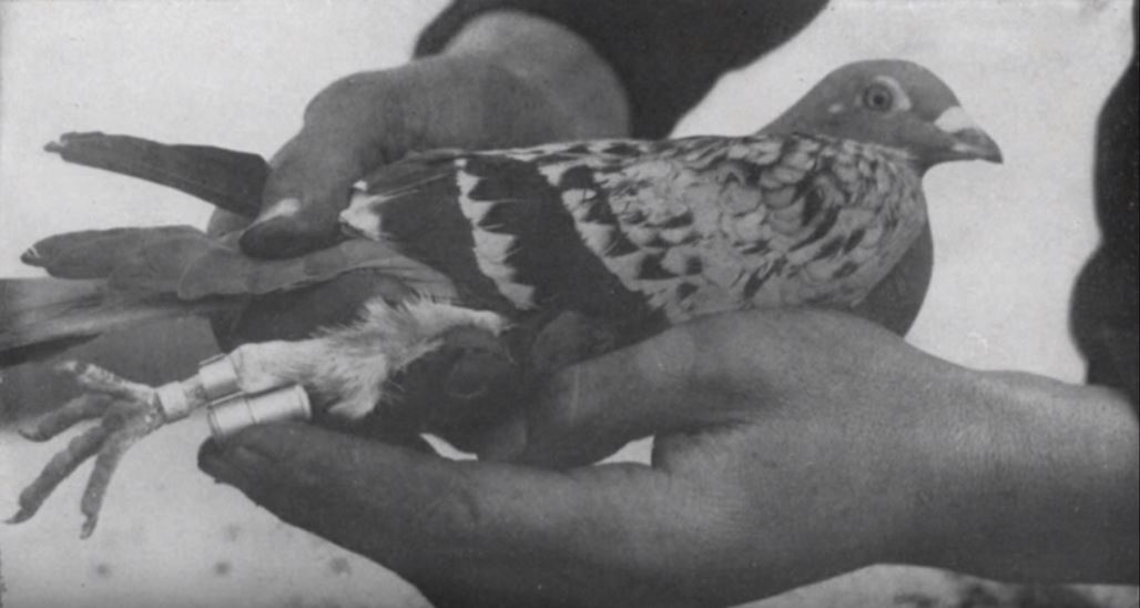 a soldier shows how a message is strapped to a carrier pigeon