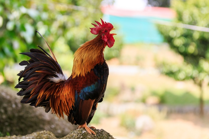 Male Colorful Rooster crowing