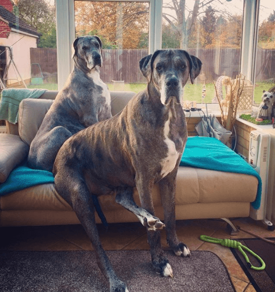 Freddy the Great Dane and his sister Fleur on the sofa