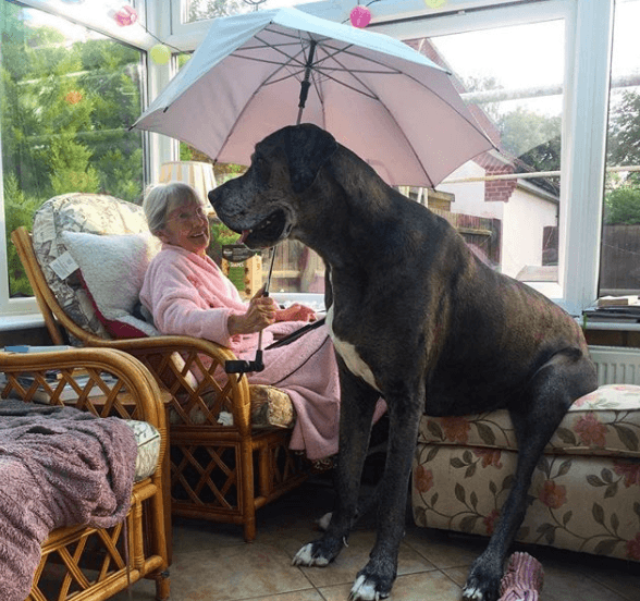 Freddy the Great Dane sitting on a chair with his grandmother