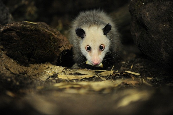 an opposum is shown eating at a zoo