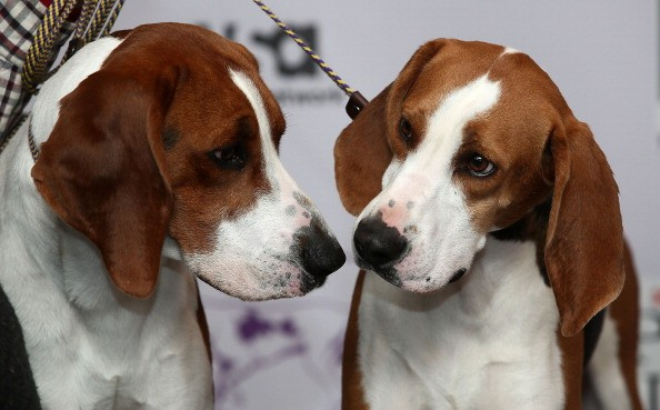 a pair of coonhounds